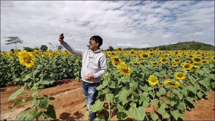 ไร่จงสมจิตต์ฟาร์ม ปลูกทานตะวันกว่า100ไร่ เปิดให้เที่ยวชมฟรี